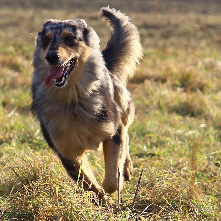 L a Grisa era un cane pastore molto simile a quello qui fotografato di recente.
