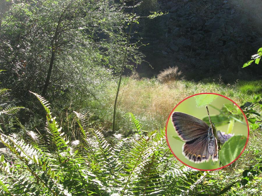 Cariceto con farfalla