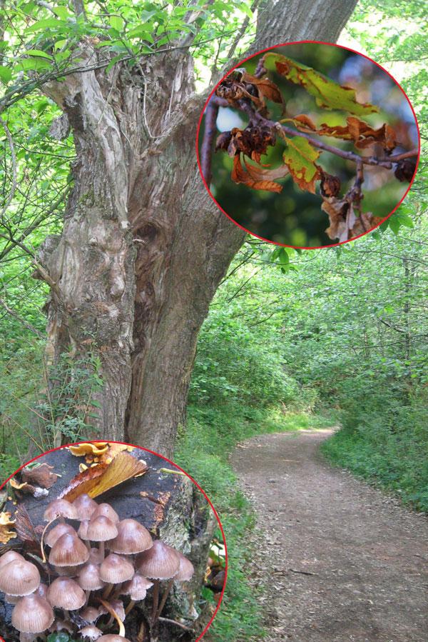 Fotomposizione con vecchi castagno, funghi e galle
