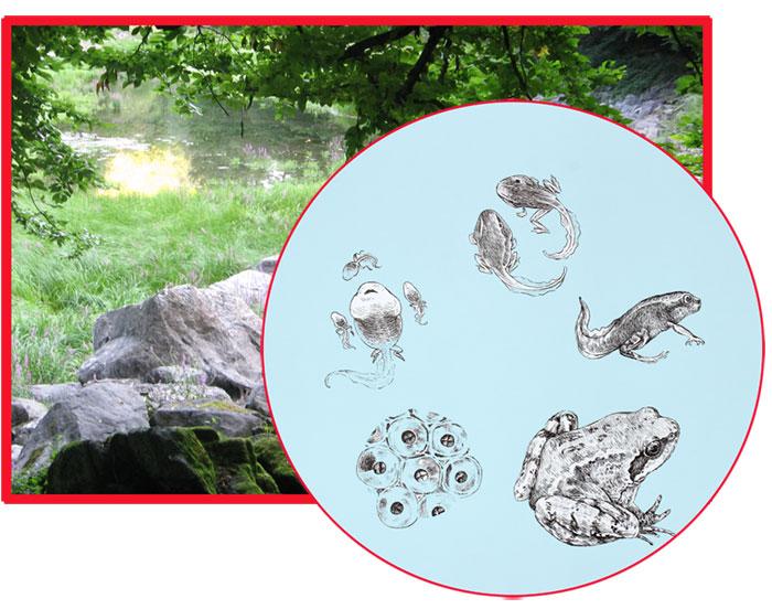 Ciclo anfibi anuri