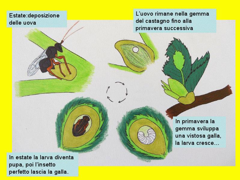 descrizione del ciclo del Cinipede galligeno.