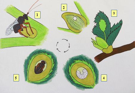 fasi dello sviluppo del Cinipede galligeno