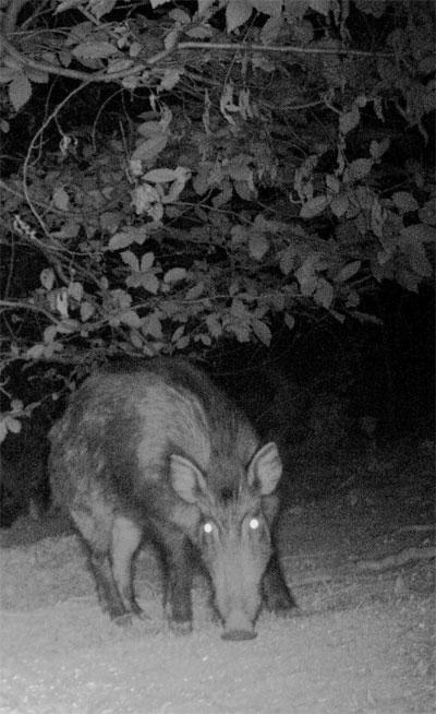 Cinghiale fotografato nel buio della notte