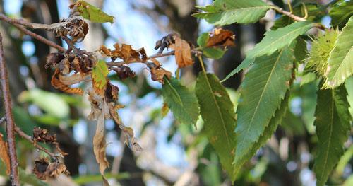 rametto di castagno con foglie secche e galle di cinipede