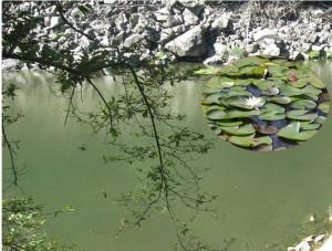 Il laghetto di sant 39 agostino diario storienaturali for Laghetto con ninfee