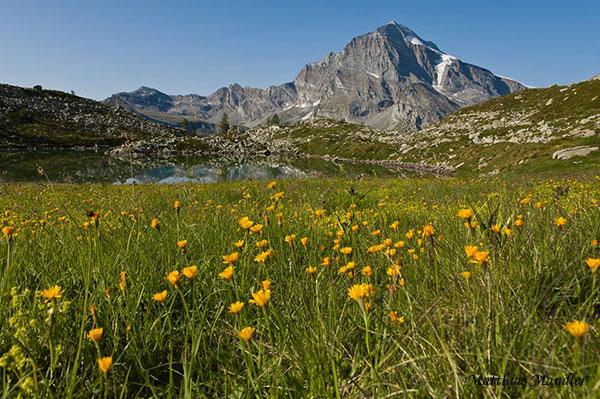 Fioritura oltre l'Alpe Veglia