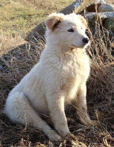 Cuccio di cane pastore che impara dai genitori