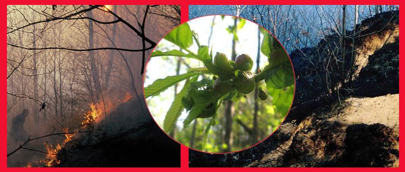 Incendi e un nuovo parassita: il Cinipede galligeno.