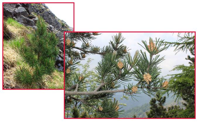 Fotocomposizione con giovane esempalre di pino mugo e ramo in fioritura.