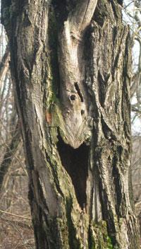 Robinia con cavità