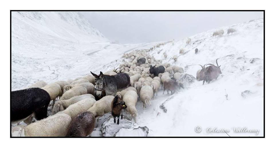 Animali che - lasciati gli alpeggi verso il Gran San Bernardo - ritornano a valle in seguito tra la prima neve (Foto: Celestino Vuillermoz)