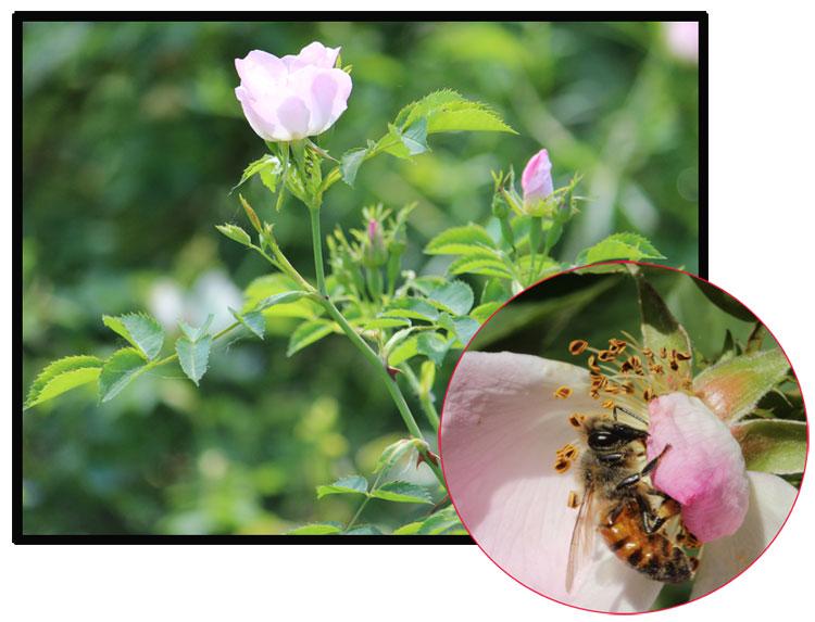 Fotomontaggio  con rosase lvatica e ape bottinatrice tra i petali.