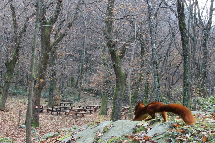 """Uno scoiattolo in corsa verso un vecchio castagneto attrezzato come luogo di sosta. L'immagine ricorda gli """"arbu"""", ovvero  i castagni innestati  che, un tempo, erano chiamati anche """"l'albero del pane""""."""