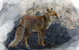 Un animale che rappresenta la furbizia: laolpe