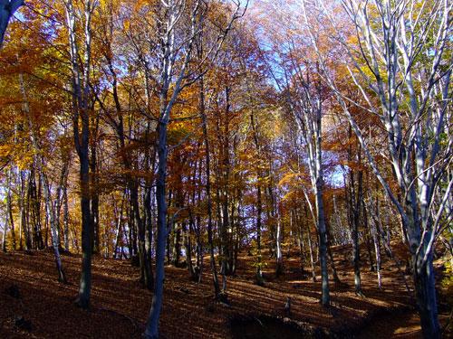 La faggeta sulla pista per Sorzano, autunno. L'intero territorio, un tempo coltivato,  è caratterizzato da manufatti quali i muri a secco di pietra che sorreggono i terrazzamenti ora occupati dal bosco.