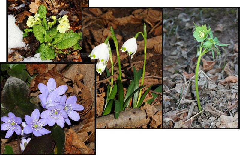 Primule, campanellini, elleboro, anemone epatica
