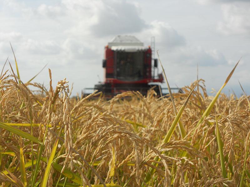 La mietritrebbiatrice, sintomo di un'agricoltura meccanizzata, ha sostituito gli uomini nel taglio del riso come i diserbanti le mondine.