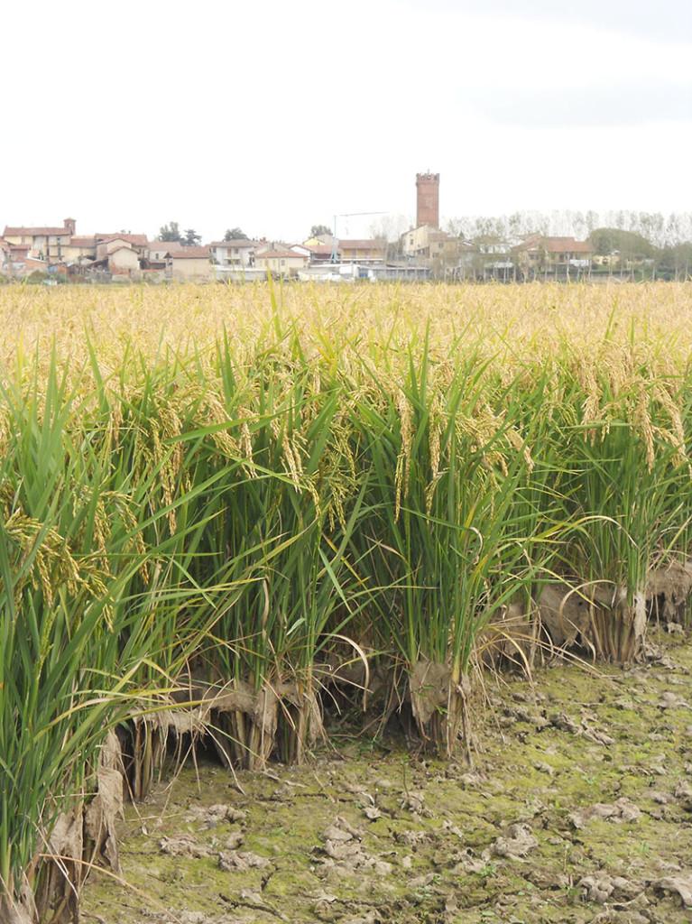 Palestro (PV) la risaia è asciutta e il raccolto pronto per la mietitura.