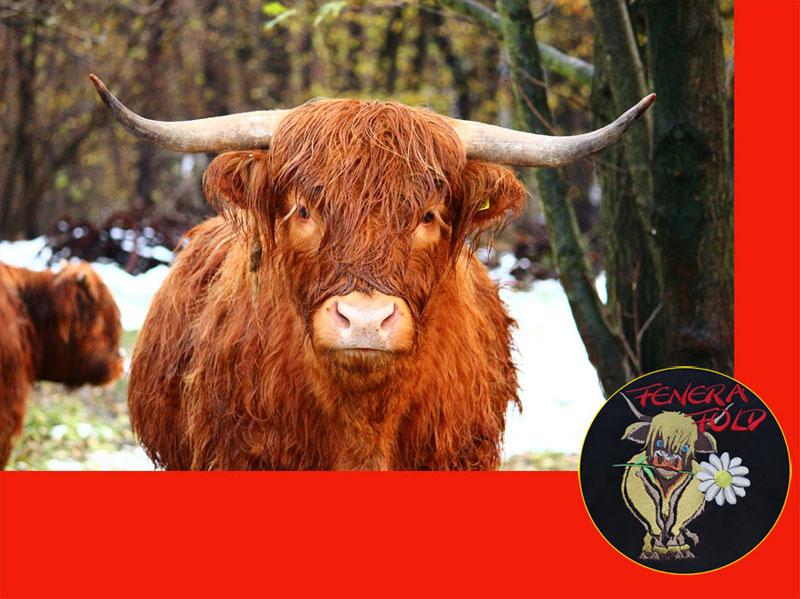 Fotocomposizione con  mucca Highland e marchio Fenera Fold.