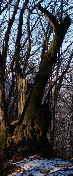 Vecchio tronco di castagno modellato dal tempo, dagli agenti atmosferici e dagli animali...