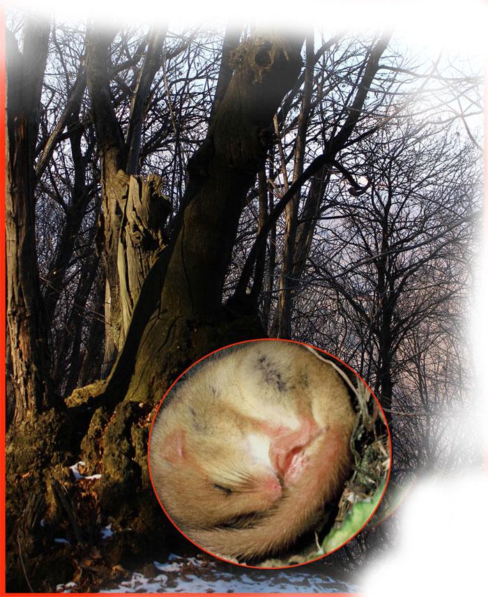 Fotocomposizione: tronco e moscardino in letargo.