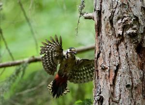 Picchio rosso che fa ritorno al proprio nido (Foto: Gianluca Lorenzi).