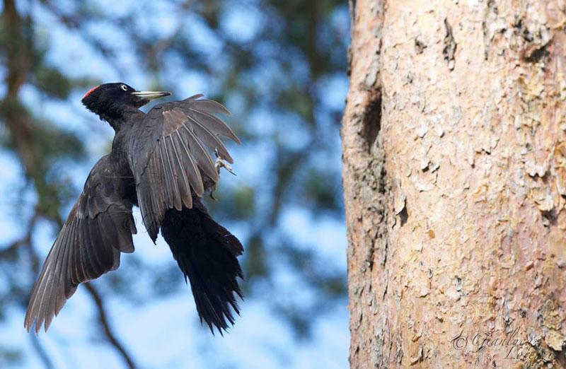 Picchio nero in volo (Foto: Gianluca Lorenzi)