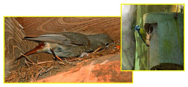 Nido di codirosso tra le travi e cinciarella che rientra in una cassetta nido.