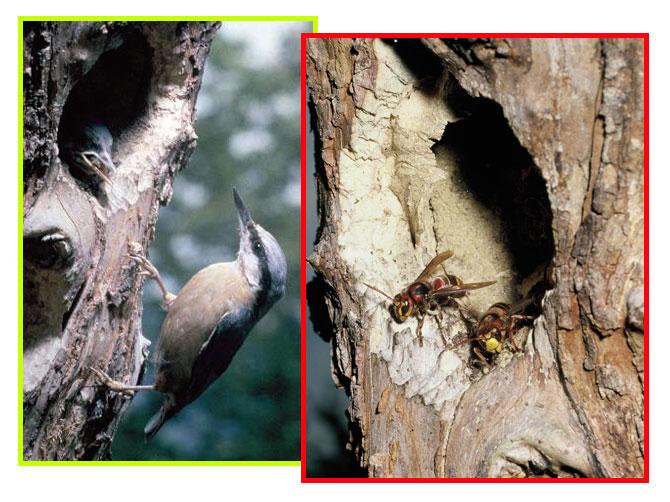 Due foto accostate mostrano una stessa cavità occupata – in tempi diversi – da un nido di Picchio muratore e da una colonia di Calabroni