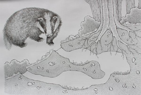Disegno di Sebastiano Monti con Tasso (Meles meles) e uno spaccato del terreno.