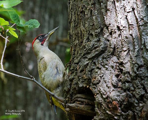Picchio verde maschio su tronco di castagno (Foto: Zorzetto Savi).