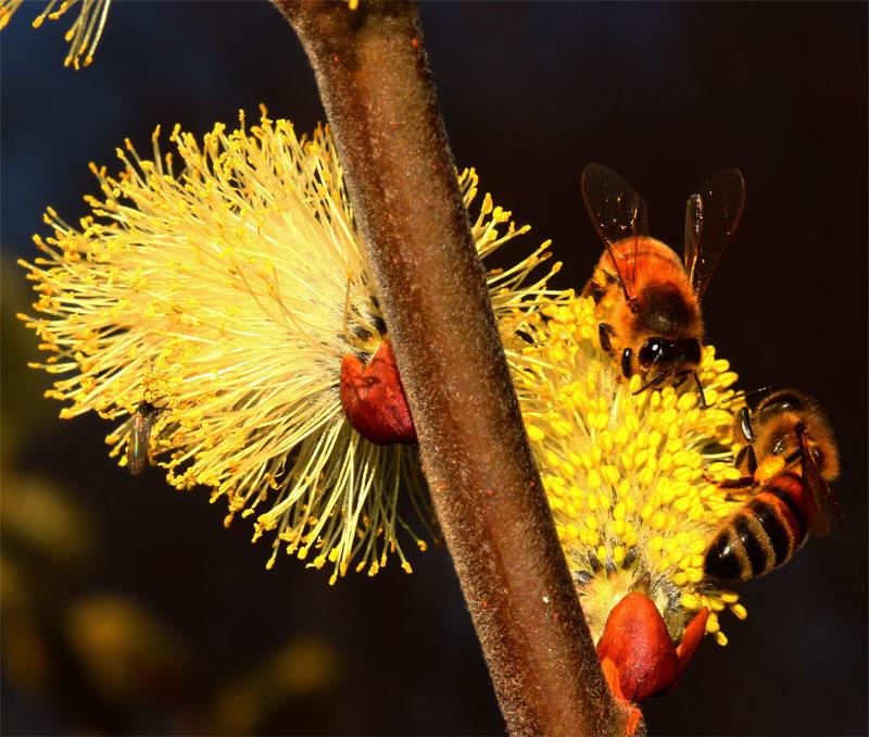 Fiori di salicone e api.