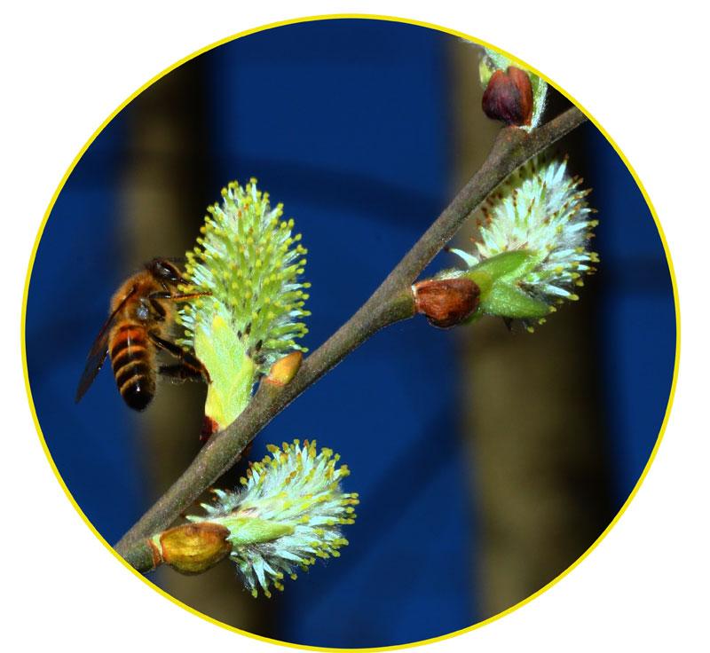 Salix caprea, fiore femminile visitato da un'ape.