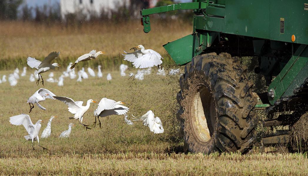 Uccelli che seguono la mietitrebbia