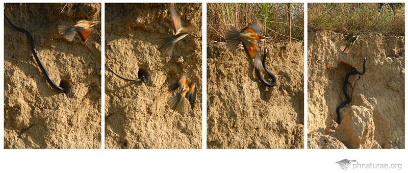 Biacco che tenta di predare un nido in cavità (Foto: Stefano Belli)