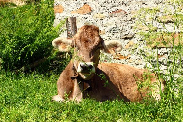 Mucca a riposo a ridosso delle baite dell'Alpe Sorba