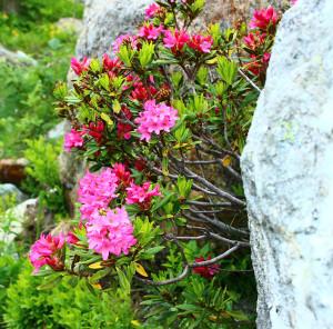 rododendri sulle rocce