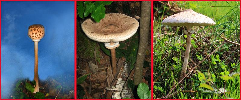 Macrolepiote: esemplari di età ed habitat diversi...