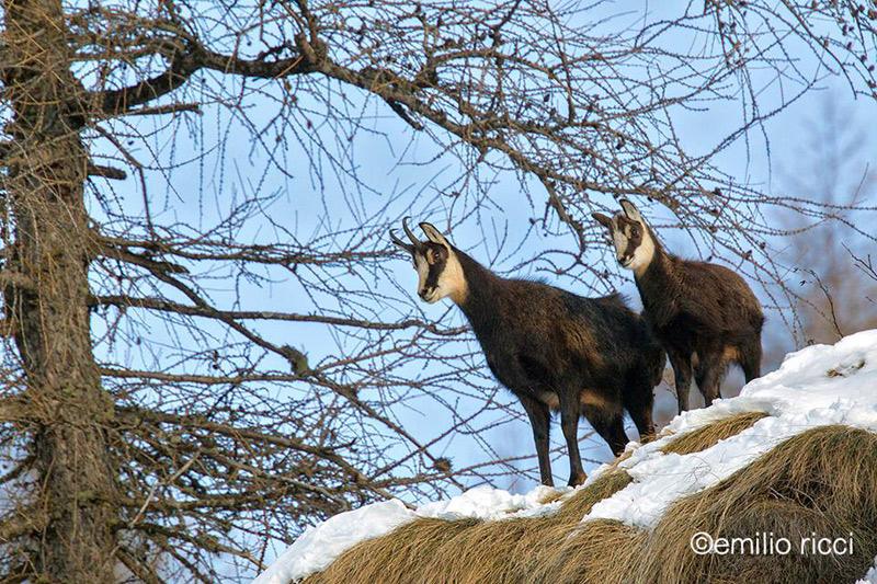 Camosci - Parco Nazionale dello Stelvio, inverno -