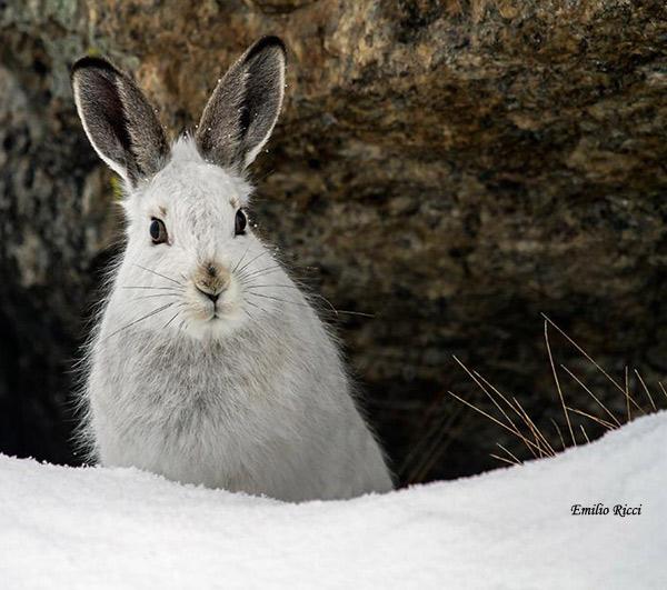 Lepre variabile in abito invernale (Foto: Emilio Ricci)