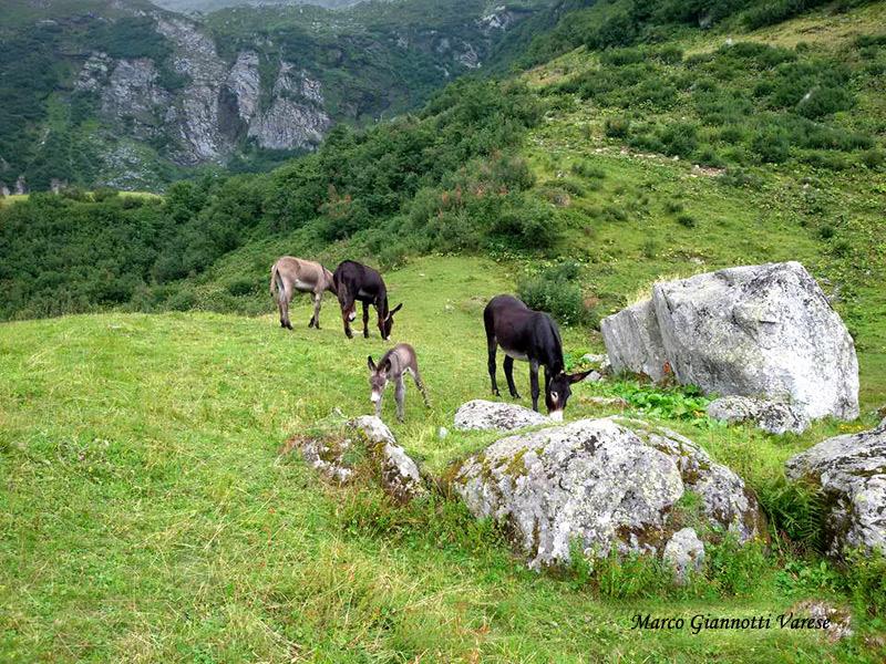 Muli al pascolo,  Alpe Campo di Alagna