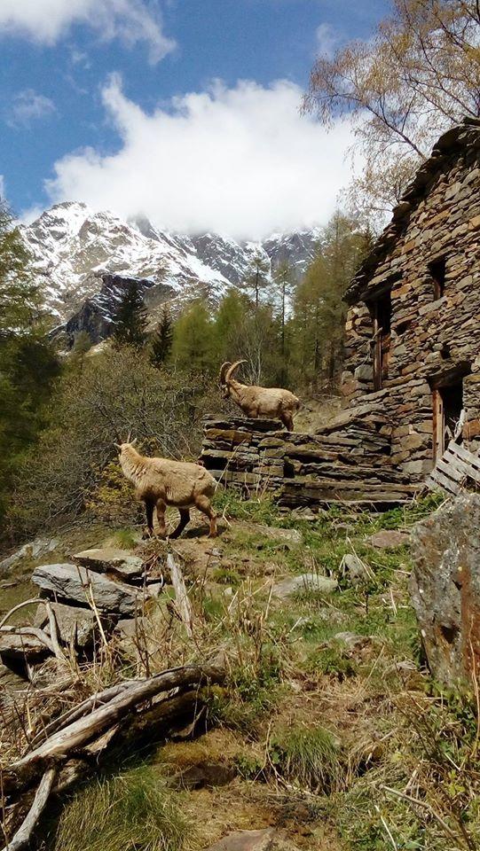 Stambecchi  e baita abbandonata. (Foto: Maria Bovio)