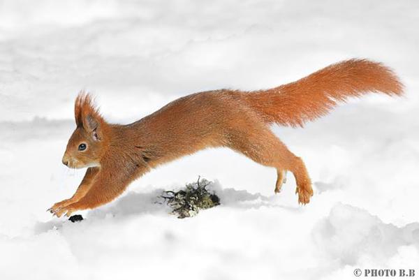 inverno, suolo innevato, scoiattolo in corsa