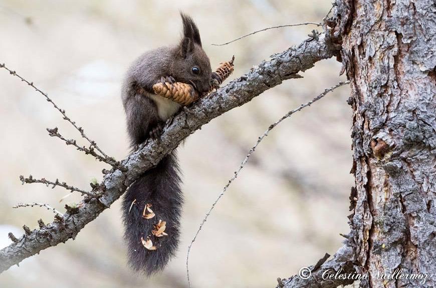 Il cibo dello scoiattolo nel bosco di conifere (Foto: Celestino Vuillermoz)