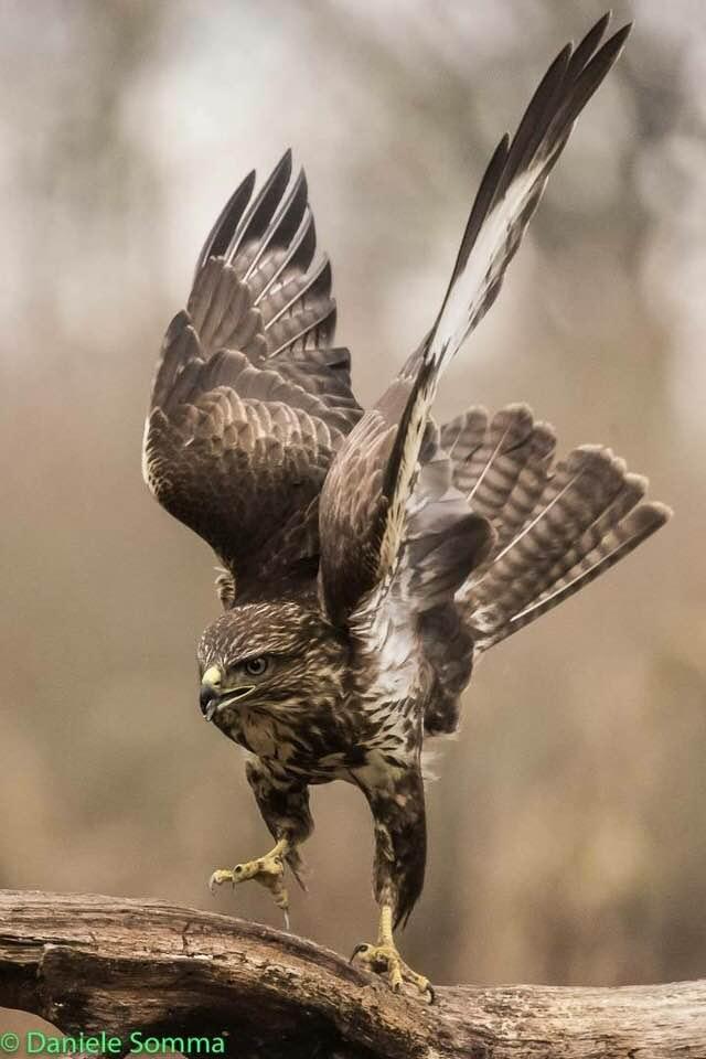 Poiana in volo, atteggiamento predatorio (Foto di DanieleSomma)