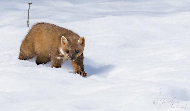 Martora tra la neve (Foto di Gianluca Lorenzi)