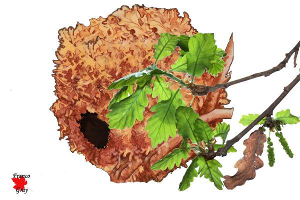Nido di scoiattolo con rametto di quercia - elaborazione Franco Gray