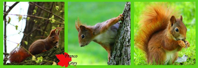 Fotocomposizione muso di scoiattoli nel corso delle stagioni: i peli delle orecchie cadono con l'arrivo della stagione calda