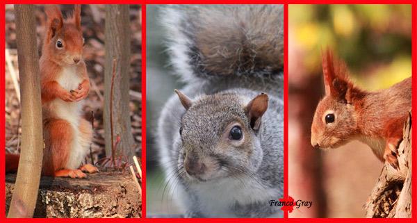 Fotocomposizione con (al centro) lo scoiattolo americano