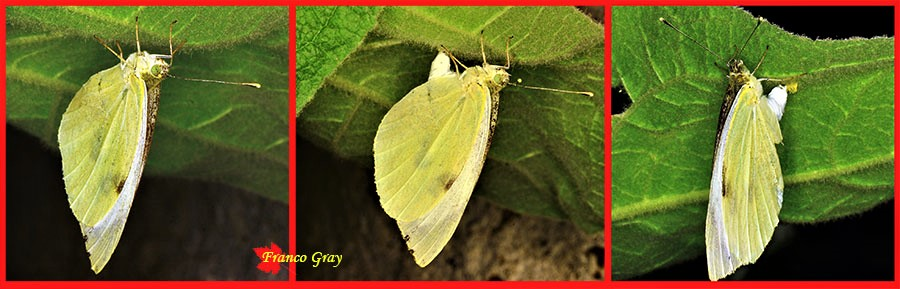 Ovodeposizione di una farfalla cavolaia  Foto: Franco Gray